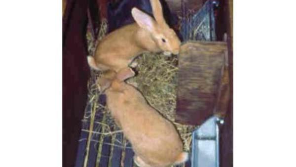 Allevamento conigli riproduttori