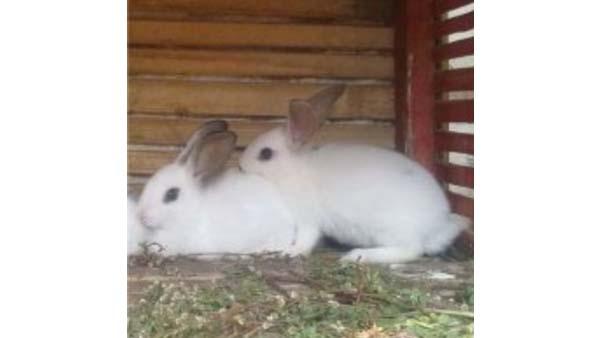 Allevamento di conigli per ristorazione agrituristica
