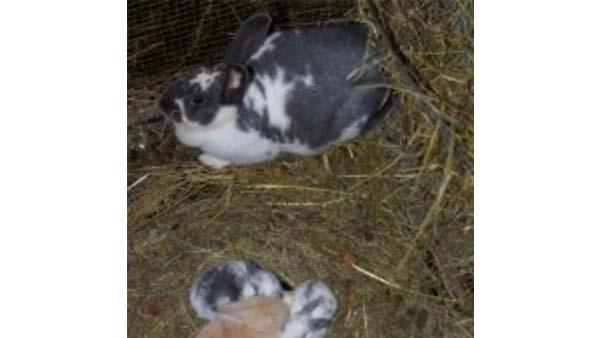 Alimentazione del coniglio in riproduzione