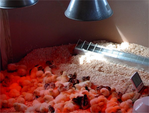 day old chicks heat lamp
