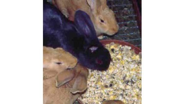 Allevare i conigli in colonia