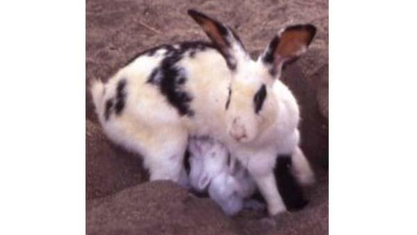 Cannibalismo della coniglia