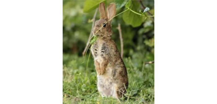 Avvelenamento dei conigli: come comportarsi