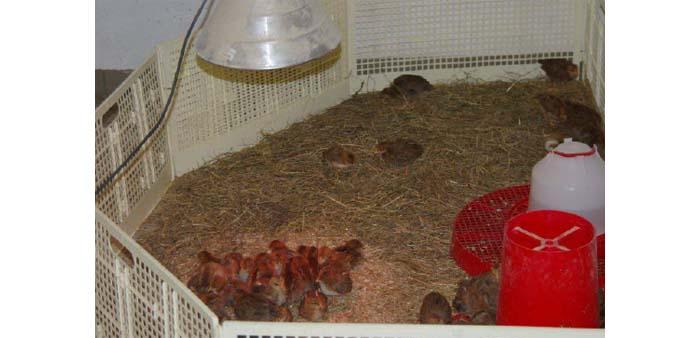 Ricovero per polli: allevamento di circa 200 unità