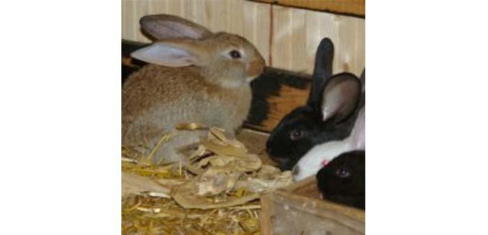 Piccolo allevamento di conigli: 60 conigli all'anno