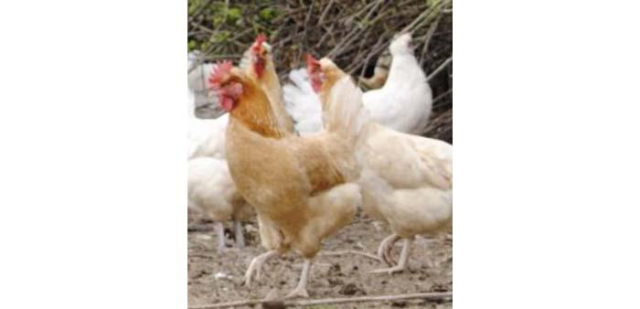 Alimentazione delle galline durante tutto il ciclo di vita