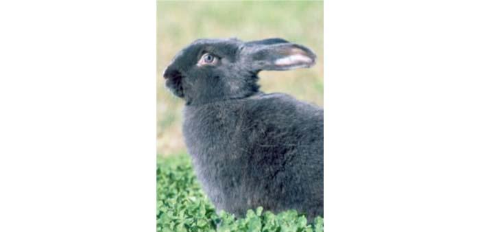 Coniglio blu di Vienna: presentazione della razza