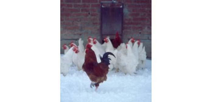 Allevamento di galline: dimensionamento del gruppo