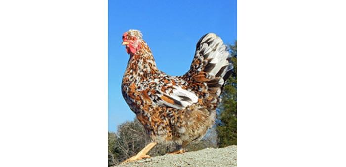 Allevare galline per il secondo ciclo di deposizione
