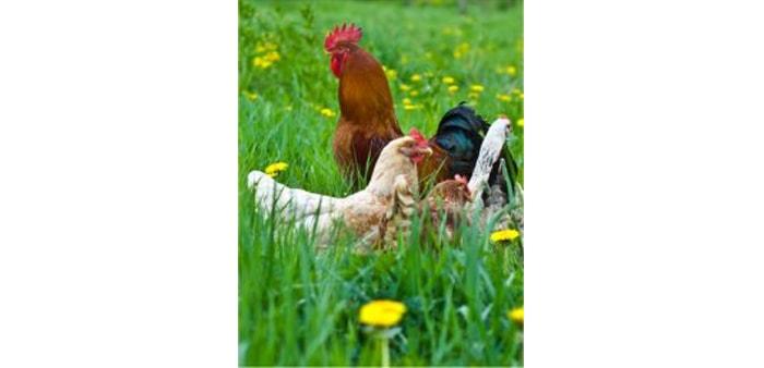 Parassiti nell allevamento avicolo