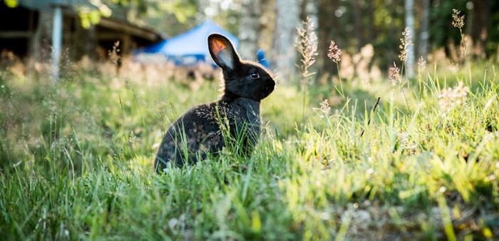 Pseudogravidanza nei conigli e la mixomatosi