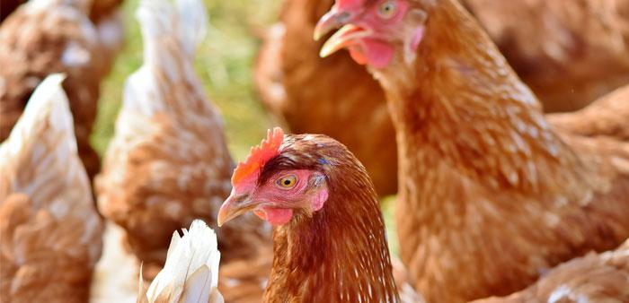 Alimentazione di finissaggio per polli e capponi