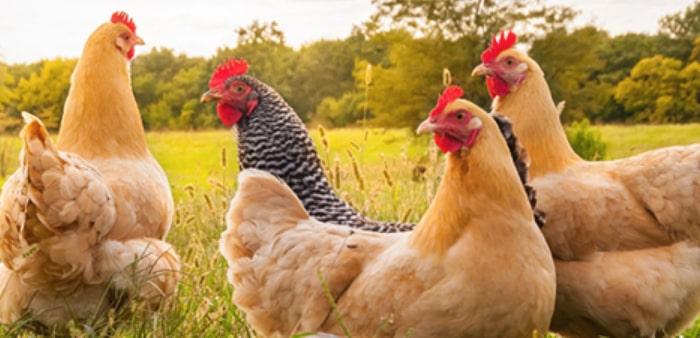 Allevamento galline biologiche a febbraio