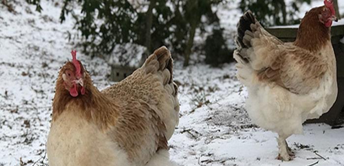 Pausa riproduttiva nelle galline