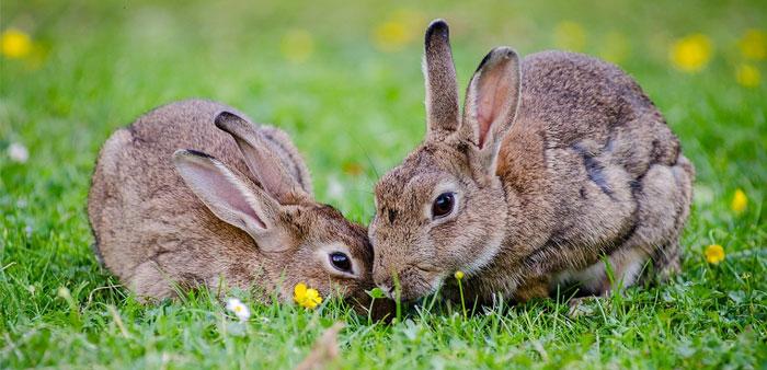 Malattia emorragica virale del coniglio