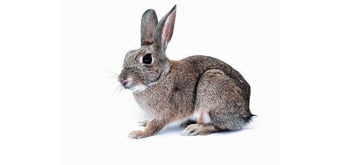 L'allattamento dei conigli