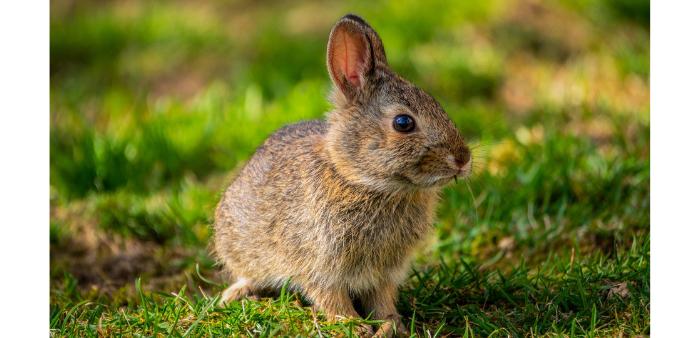 Coniglio di montagna: alimentazione invernale femmine in allattamento
